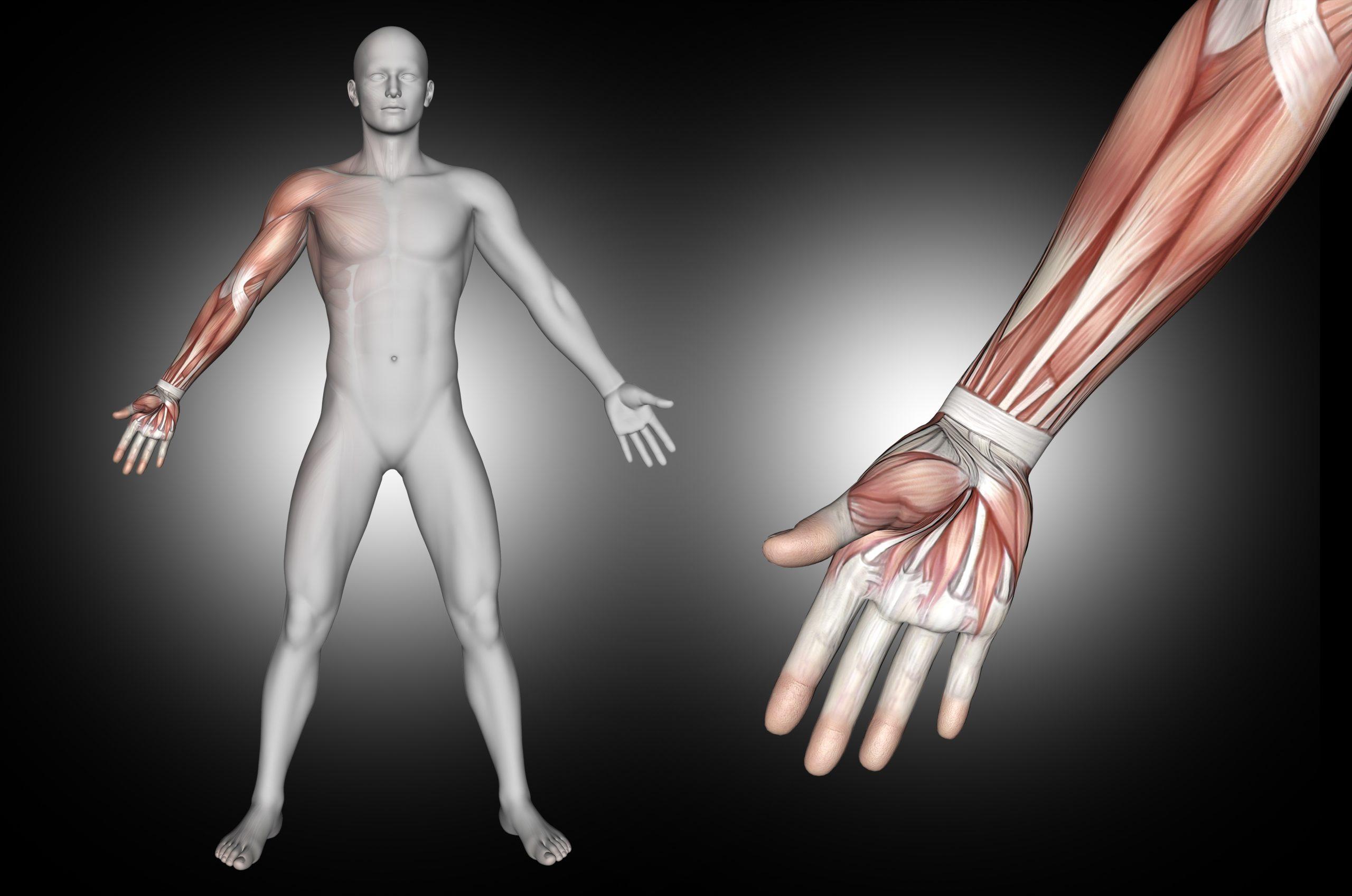 Enseñar una imagen de músculos relacionada con Relajación Muscular Progresiva de Jacobson